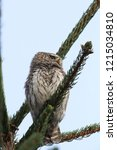 eurasian pygmy owl swabian jura   Shutterstock . vector #1215034810