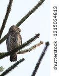 eurasian pygmy owl swabian jura   Shutterstock . vector #1215034813
