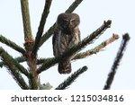 eurasian pygmy owl swabian jura   Shutterstock . vector #1215034816
