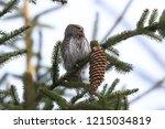 eurasian pygmy owl swabian jura   Shutterstock . vector #1215034819