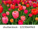 Stock photo pink and red tulip display at annual tulip festival in albany new york 1215064963