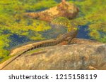 water monitor lizard  varanus... | Shutterstock . vector #1215158119