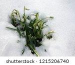 new life. snowdrop in full...   Shutterstock . vector #1215206740