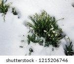 new life. snowdrop in full...   Shutterstock . vector #1215206746