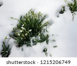 new life. snowdrop in full...   Shutterstock . vector #1215206749