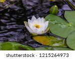 River Lily In The Water. Water...