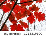 autumn colorful barberry red... | Shutterstock . vector #1215319900