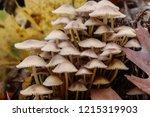 mushrooms mycena alcalina on... | Shutterstock . vector #1215319903