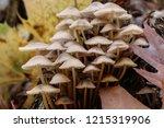 mushrooms mycena alcalina on... | Shutterstock . vector #1215319906