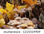 mushrooms mycena alcalina on... | Shutterstock . vector #1215319909