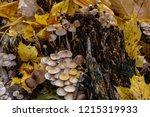 mushrooms mycena alcalina on... | Shutterstock . vector #1215319933