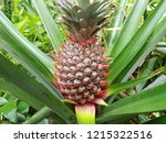 Red Pineapple Tropical Fruit...