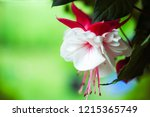 fuchsia flower in red and white | Shutterstock . vector #1215365749