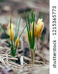 first spring flower   crocus... | Shutterstock . vector #1215365773