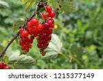 growing red currant | Shutterstock . vector #1215377149