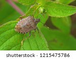 Worldwide pest brown marmorated stink bug Halyomorpha halys (adult)