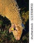 portrait of a sheep  swabian...   Shutterstock . vector #1215508933