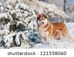 Siberian Husky Dog Winter...