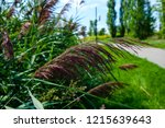 isolated pampas grass leaf.... | Shutterstock . vector #1215639643