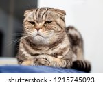 Small photo of Serious cat Scottish fold lying on blue sofa neatly folded his paws and a haughty look, a soft background of a white wall and a window. Close-up.