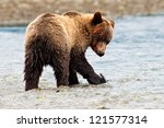 Defiant Grizzly Bear Looking with Blood on His Face, British Columbia, Canada, North America. - stock photo