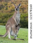 Kangaroo Mother With Baby Joey...