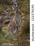 camouflaged kangaroo | Shutterstock . vector #121578190