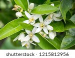 flowers of lemon tree in an...   Shutterstock . vector #1215812956