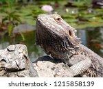 bearded dragon hugo at pond   Shutterstock . vector #1215858139