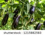 Eggplant In The Garden. Fresh...