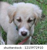 Anatolian Shepherd Puppy In The ...