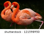 Wo Colorful Flamingos  Walking...