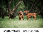 Stock photo adorable little rhodesian ridgeback puppies playing together in garden 1216108939