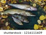 river pike perch  pike  perch ... | Shutterstock . vector #1216111609