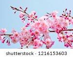 weeping cherry tree   Shutterstock . vector #1216153603