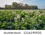 white flowers and buds of...   Shutterstock . vector #1216190920