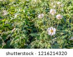 closeup of white flowers and...   Shutterstock . vector #1216214320