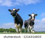 two black and white cows ... | Shutterstock . vector #1216316833