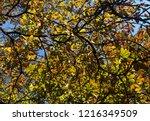 autumn chestnut leaves on tree... | Shutterstock . vector #1216349509