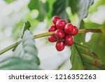 aceh coffee beans | Shutterstock . vector #1216352263