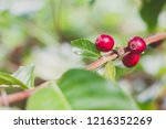 aceh coffee beans | Shutterstock . vector #1216352269