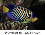 Regal angelfish in the coral reef - stock photo