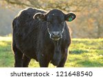 Angus Cross Feed Cattle In A...
