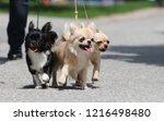 Three Funny Chihuahua Are...