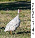 domesticated guineafowl  numida ... | Shutterstock . vector #1216499203