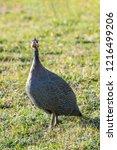domesticated guineafowl  numida ... | Shutterstock . vector #1216499206