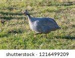 domesticated guineafowl  numida ... | Shutterstock . vector #1216499209