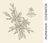 edelweiss  edelweiss flowers... | Shutterstock .eps vector #1216560136