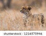 cheetah in kruger national park ...   Shutterstock . vector #1216575946
