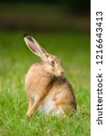 Stock photo european brown hare lepus europaeus sitting in a meadow germany 1216643413